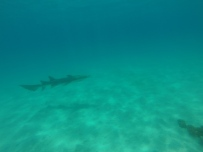 Tawny nurse shark with pilot fish